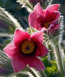 Free Pasque Flower Stock Images - 14410664