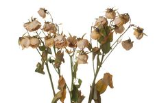 Free Dead Roses Stock Photography - 14410852