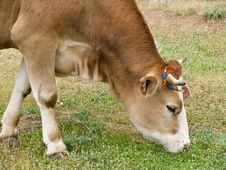Free Green Pastures And Cows Stock Photography - 14411072