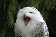 Free Snowy Owl Stock Image - 14411361