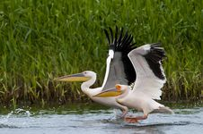 Free Breat White Pelican Pair Stock Photography - 14411362