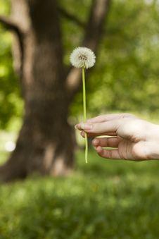Free Dandelion Stock Photos - 14411693