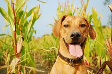 Free Rhodesian Ridgeback Portrait Stock Photos - 14411723