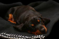 Free Sleeping Dachshund Royalty Free Stock Image - 14411776