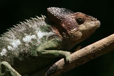 Free Wild Chameleon Of Madagascar Stock Photography - 14411942