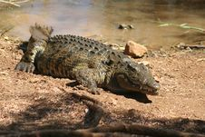 Free Wild Madagascar Crocodile Royalty Free Stock Photography - 14411957