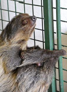 Southern Two-toed Sloth Royalty Free Stock Images