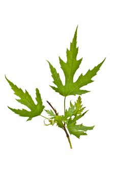 Free Silver Maple Leaves Royalty Free Stock Photos - 14413478