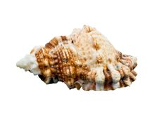 Free Sea Shell Royalty Free Stock Image - 14413626