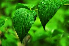 Free Drops Of Rain On A Silky Leaf Royalty Free Stock Photo - 14414095