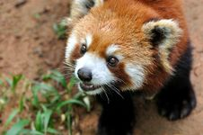 Lovely Face Of A Lesser Panda Stock Photo