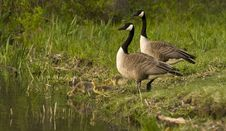 Free Canadian Geese With Goslings At Rivers Edge Stock Image - 14415191