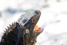 Free Iguana Stock Image - 14415451