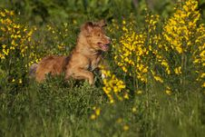 Red Haired Dog Running In Broom Field Stock Photos