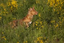 Red Haired Dog Running In Broom Field Royalty Free Stock Image