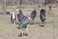 Free Africa,Seronera,Marabou Stork Stock Photo - 14416700