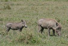 Africa, Tanzania Warthog With Your Baby Royalty Free Stock Image