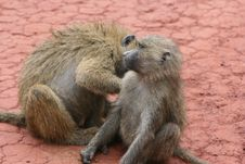 Free Africa,Tanzania,couple Of The Monkeys Royalty Free Stock Image - 14416896