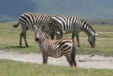 Africa,Ngorongoro Reserve Zebre Of Burchell