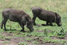 Free Africa,Tanzania,warthogs Royalty Free Stock Photo - 14416965