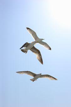 Free Three Seagulls Royalty Free Stock Photo - 14417845