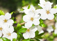 Free Flowering Cherry Stock Photo - 14418100