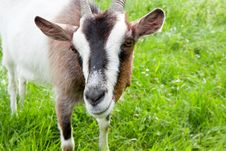 Goat On The Spring Meadow Stock Photos