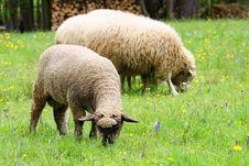 Free Sheeps Royalty Free Stock Photo - 14418485