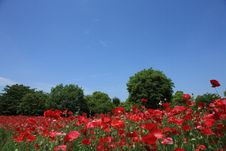 Free Shirley Poppy At Showa Kinen Park Stock Photography - 14418992