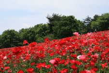 Free Shirley Poppy At Showa Kinen Park Stock Images - 14419064