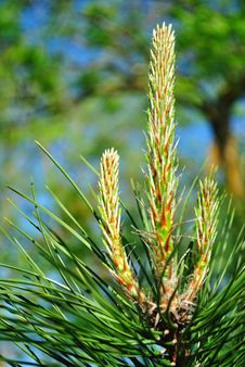 Free Young Pine Shoots Royalty Free Stock Photo - 14419065