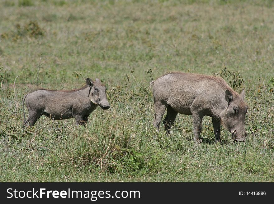 Africa, Tanzania warthog with your baby