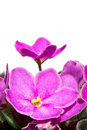 Free Viola Royalty Free Stock Photo - 14423035