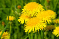 Free Yellow Dandelion In Green Meadow Royalty Free Stock Image - 14424356