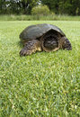 Free Snapping Turtle Royalty Free Stock Photos - 14424388