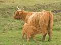 Free Highland Cow With Calf At Foot. Royalty Free Stock Image - 14426296