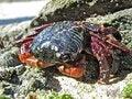 Free Sunbath Crab Stock Image - 14429401