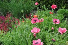 Free Pink_poppies_1 Royalty Free Stock Photo - 14420055