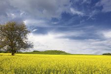 Free Canola Field With Dramatic Sky And Tree Royalty Free Stock Images - 14420709