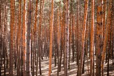Free Pine Forest Stock Photos - 14421953