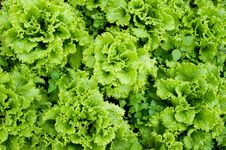 Free Green Lettuce Royalty Free Stock Images - 14422139