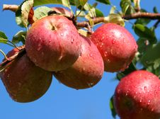 Free Red Apples Stock Image - 14422291