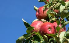 Free Red Apples Stock Images - 14422304