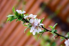 Free Cherry Blossom Stock Photography - 14422612