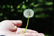 Free Dandelion In Palm Stock Image - 14422701