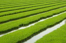 Free Rice Seedlings Stock Image - 14423361