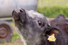 Free Portrait Of A Calf. Stock Photos - 14423733