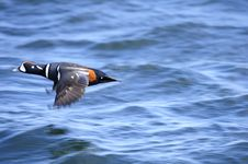 Free Harlequin Duck Royalty Free Stock Images - 14424179
