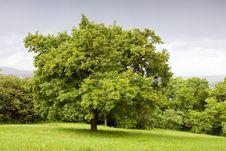 Free Green Tree Royalty Free Stock Image - 14424606