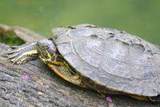 Free Turtle Royalty Free Stock Image - 14424666